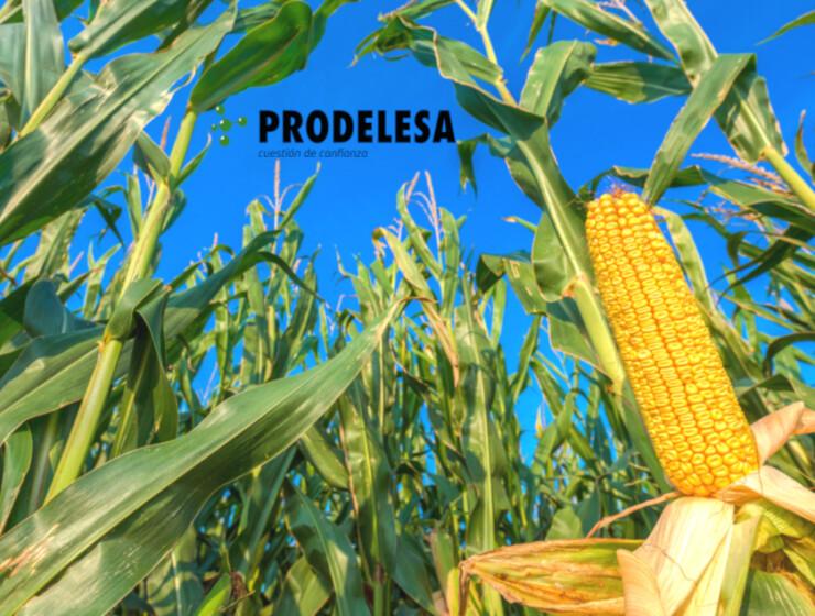 Recolecta del maíz